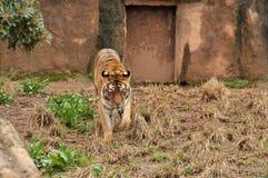 Tigre que recorre Imagen de archivo