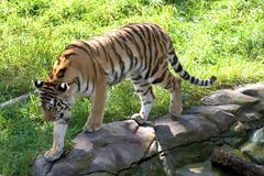 Tigre que recorre en una repisa de la roca fotografía de archivo