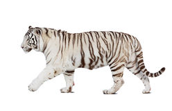 Tigre que recorre sobre blanco Fotos de archivo