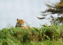 Tigre que relaxa no sol que encontra-se para baixo Fotos de Stock