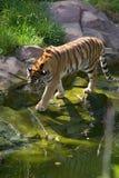Tigre que se acerca a una charca Imagen de archivo libre de regalías