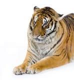 Tigre que se acuesta Fotos de archivo libres de regalías