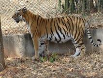 Tigre que se coloca debajo de árbol en el parque zoológico muy cerca al camino Imágenes de archivo libres de regalías