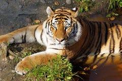 Tigre que se refresca apagado en una charca Foto de archivo