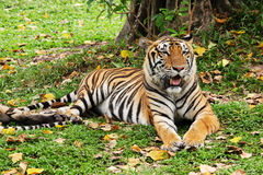 Tigre que se relaja y que coloca Imagenes de archivo