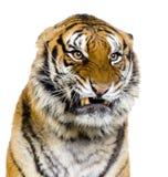 Tigre que Snarling Imagens de Stock Royalty Free