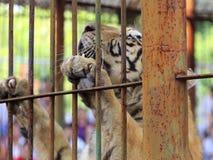 Tigre que sube en jaula Fotografía de archivo