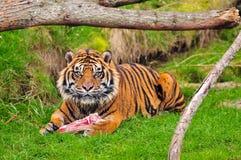 Tigre que tem o almoço Fotografia de Stock
