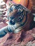 tigre real bonito de majestoso fotografia de stock