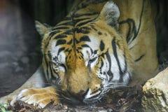 Tigre Real Del Bengala Obraz Royalty Free