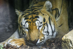 Tigre Reale del Bengala Royalty Free Stock Image