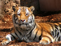 Tigre regardant l'appareil-photo Photographie stock