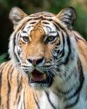 Tigre - retrato Imagens de Stock Royalty Free