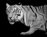 Tigre, retrato de um tigre de bengal Fotos de Stock