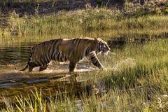 Tigre retroiluminado que sai da água Imagens de Stock