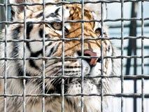 Tigre royal photo libre de droits