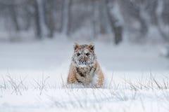 Tigre running com cara nevado Tigre na natureza selvagem do inverno Tigre de Amur que corre na neve Cena dos animais selvagens da Fotografia de Stock Royalty Free