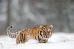 Tigre running com cara nevado Tigre na natureza selvagem do inverno Tigre de Amur que corre na neve Cena dos animais selvagens da Imagens de Stock