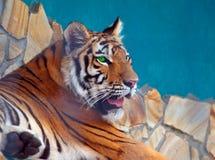 Tigre in Safari Park Taigan Fotografia Stock Libera da Diritti