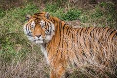 Tigre salvaje Fotos de archivo