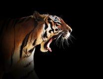 Tigre salvaje que ruge Fondo negro foto de archivo