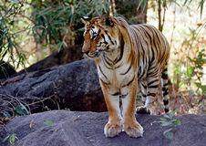 Tigre sauvage Image libre de droits
