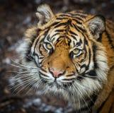 Tigre sauvage Photographie stock libre de droits
