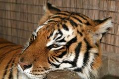 Tigre sauvage de durée Photo libre de droits