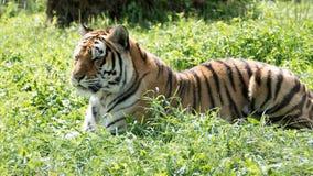 Tigre se couchant photographie stock libre de droits