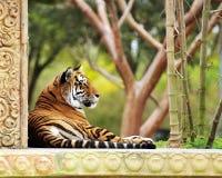 Tigre se reposant dans un jardin image libre de droits