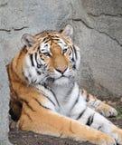 Tigre se reposant sur des roches Photographie stock libre de droits