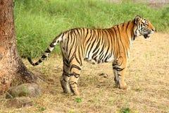 Tigre se tenant à la nuance images stock