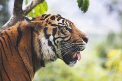 Tigre sediento foto de archivo libre de regalías