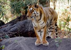 Tigre selvagem Imagens de Stock Royalty Free