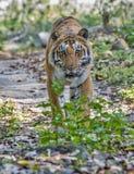 Tigre selvagem Fotos de Stock
