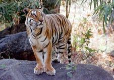 Tigre selvaggia Fotografia Stock