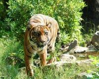 Tigre selvaggia Fotografie Stock Libere da Diritti