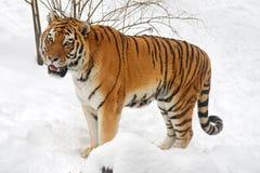 Tigre sibérien Images libres de droits