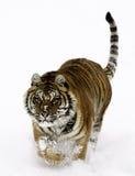 Tigre sibérien Image libre de droits