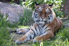 Tigre sibérien Photos libres de droits
