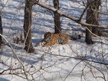 Tigre sibérien Image stock