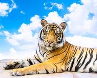 Tigre sibérien Images stock
