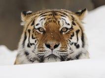 Tigre sibérien (altaica de tigris de Panthera) Photos libres de droits