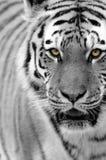 Tigre sibérien (altaica de tigris de Panthera) Photo libre de droits