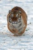 Tigre sibérien (altaica de tigris de Panthera) Image stock