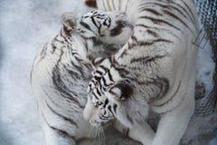 Tigre sibérien blanc Images libres de droits