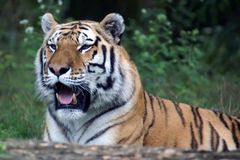 Tigre sibérien d'Amur Photographie stock libre de droits