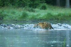 Tigre sibérien dans l'eau - altaica du Tigre de Panthera photos stock