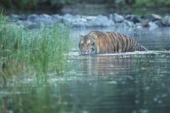 Tigre sibérien dans l'eau - altaica du Tigre de Panthera images libres de droits