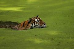 Tigre sibérien dans l'herbe directement au photographe photo stock